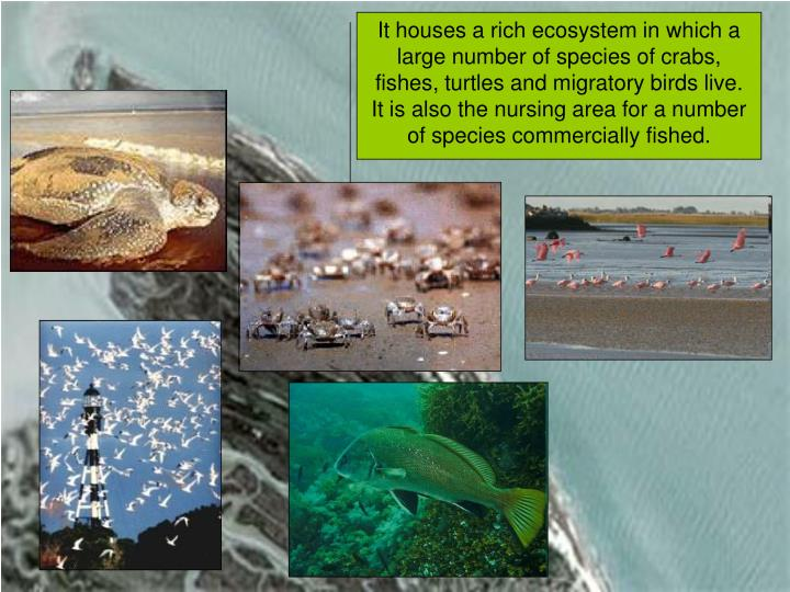 It houses a rich ecosystem in which a large number of species of crabs, fishes, turtles and migratory birds live.