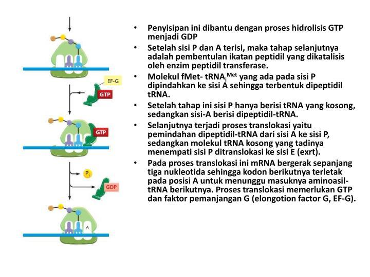 Penyisipan ini dibantu dengan proses hidrolisis GTP menjadi GDP