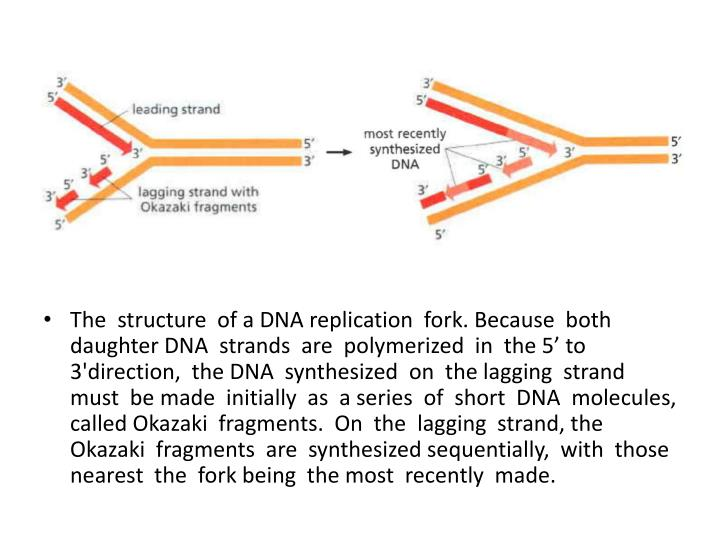 The  structure  of a DNA replication  fork. Because  both daughter DNA  strands  are  polymerized  in  the 5' to 3'direction,  the DNA  synthesized  on  the lagging  strand  must  be made  initially  as  a series  of  short  DNA  molecules,  called Okazaki  fragments.  On  the  lagging  strand, the Okazaki  fragments  are  synthesized sequentially,  with  those  nearest  the  fork being  the most  recently  made.