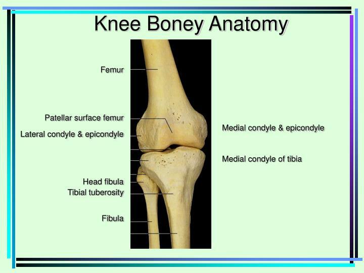 Knee Boney Anatomy
