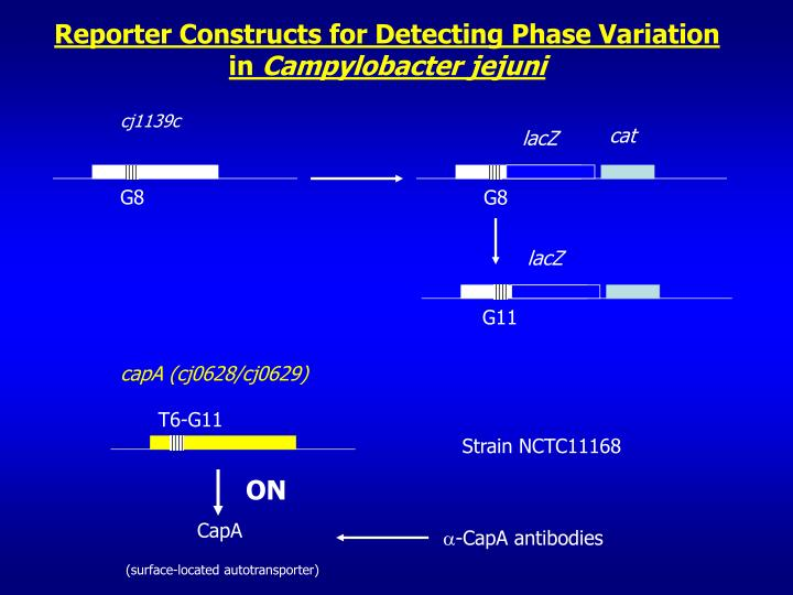 Reporter Constructs for Detecting Phase Variation