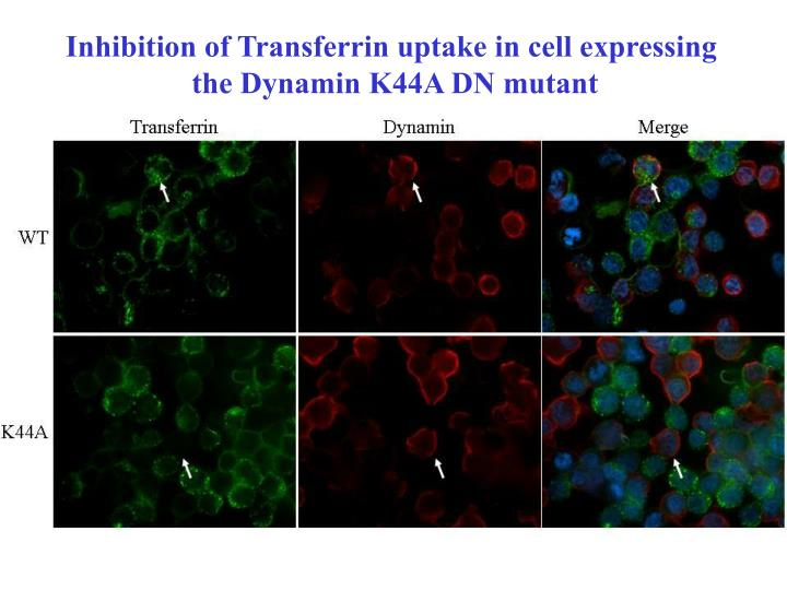 Inhibition of Transferrin uptake in cell expressing
