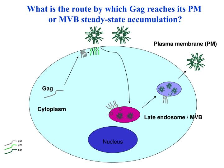 Late endosome / MVB