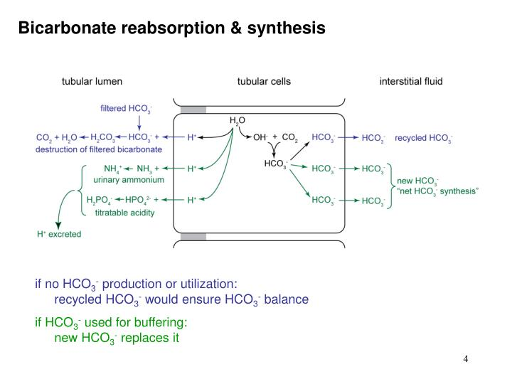 Bicarbonate reabsorption & synthesis