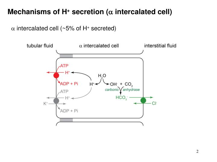 Mechanisms of h secretion intercalated cell