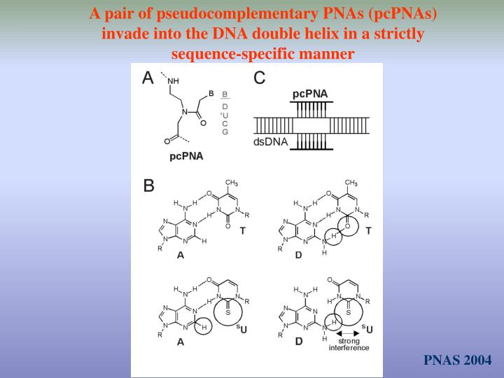 A pair of pseudocomplementary PNAs (pcPNAs) invade into the DNA double helix in a strictly sequence-specific manner