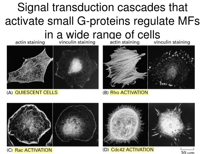 Signal transduction cascades that activate small G-proteins regulate MFs  in a wide range of cells