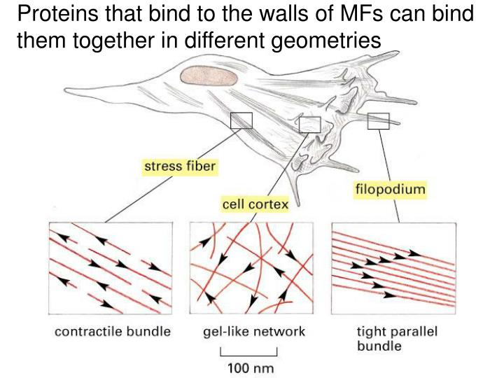 Proteins that bind to the walls of MFs can bind
