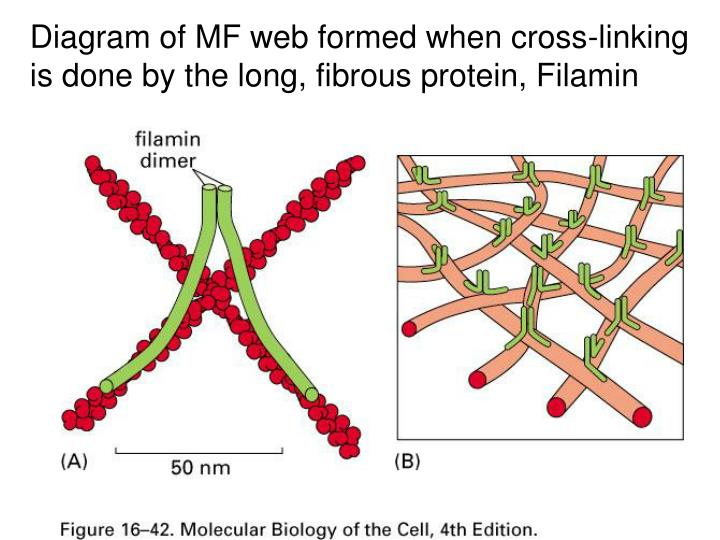 Diagram of MF web formed when cross-linking