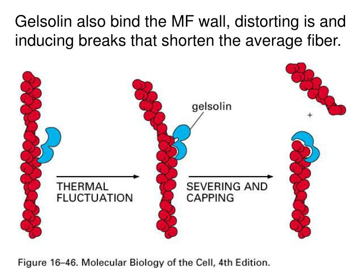 Gelsolin also bind the MF wall, distorting is and