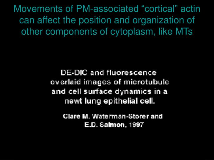 """Movements of PM-associated """"cortical"""" actin can affect the position and organization of other components of cytoplasm, like MTs"""