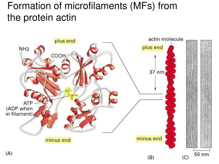 Formation of microfilaments (MFs) from