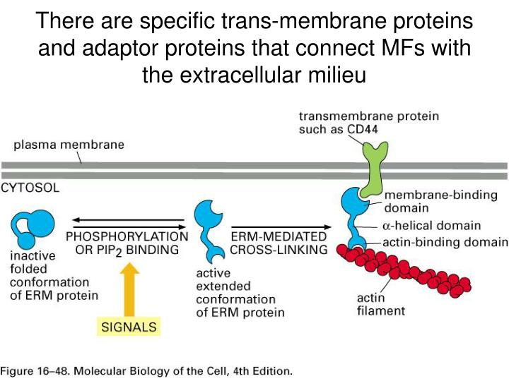 There are specific trans-membrane proteins and adaptor proteins that connect MFs with the extracellular milieu