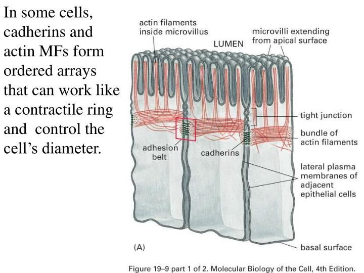 In some cells, cadherins and actin MFs form ordered arrays that can work like a contractile ring and  control the cell's diameter.