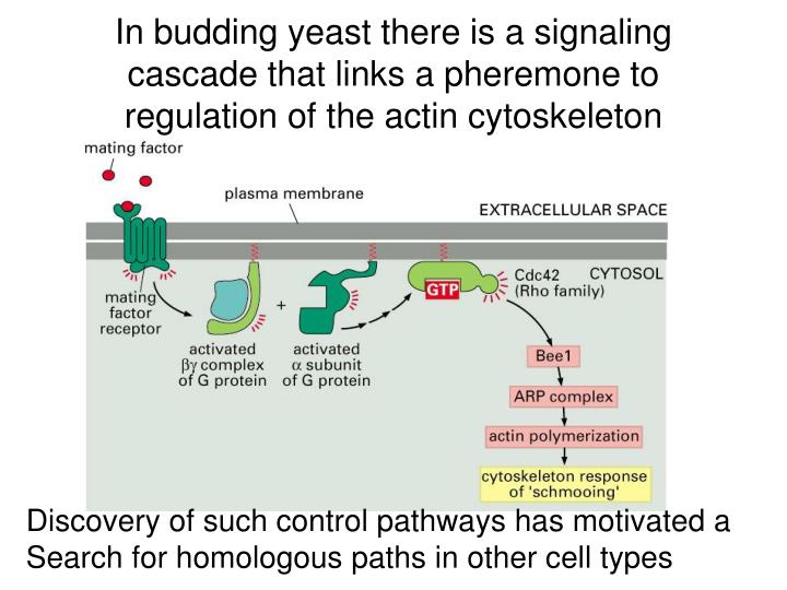 In budding yeast there is a signaling cascade that links a pheremone to regulation of the actin cytoskeleton