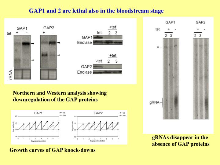 GAP1 and 2 are lethal also in the bloodstream stage