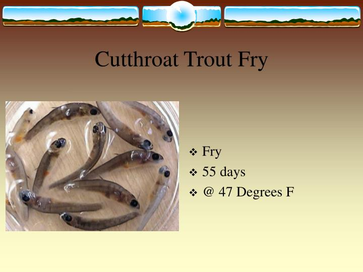 Cutthroat Trout Fry