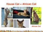 house cat african cat