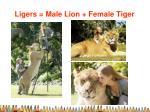 ligers male lion female tiger