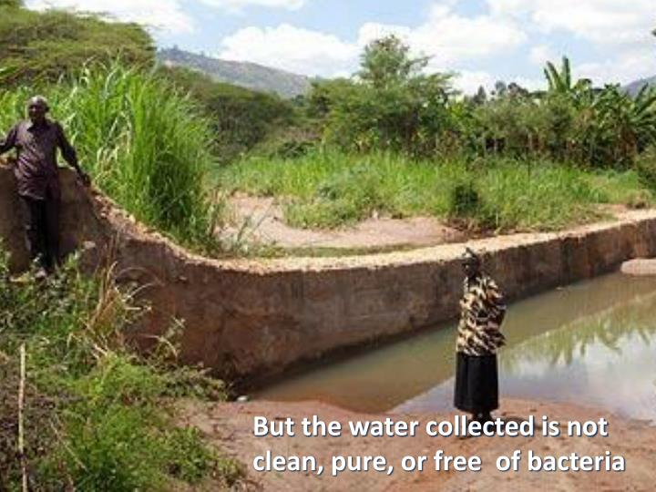 But the water collected is not clean, pure, or free  of bacteria