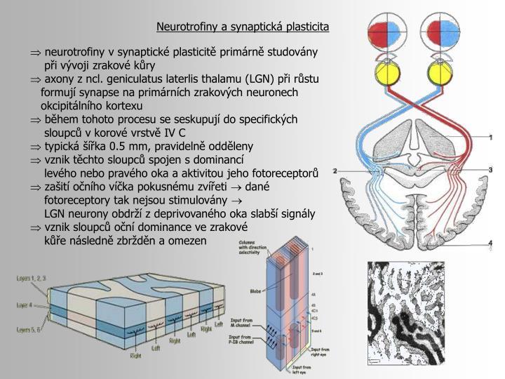 Neurotrofiny a synaptická plasticita