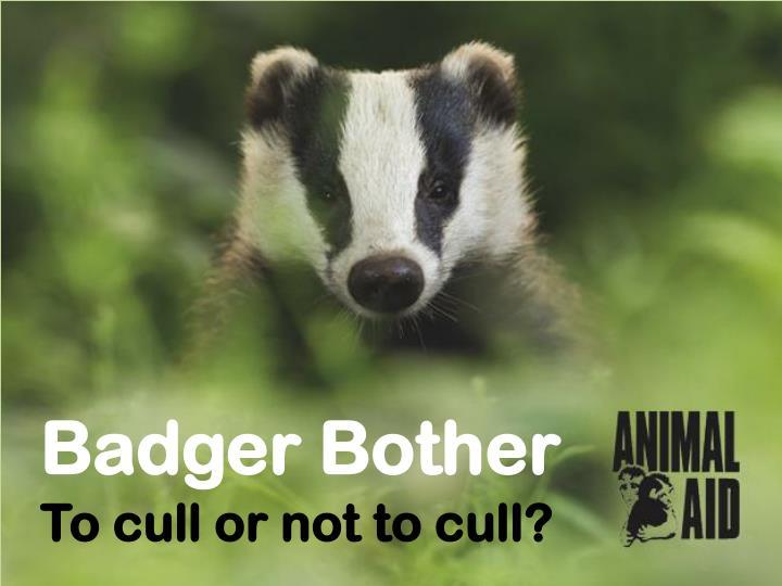 Badger Bother