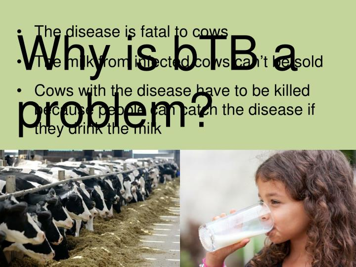 The disease is fatal to cows