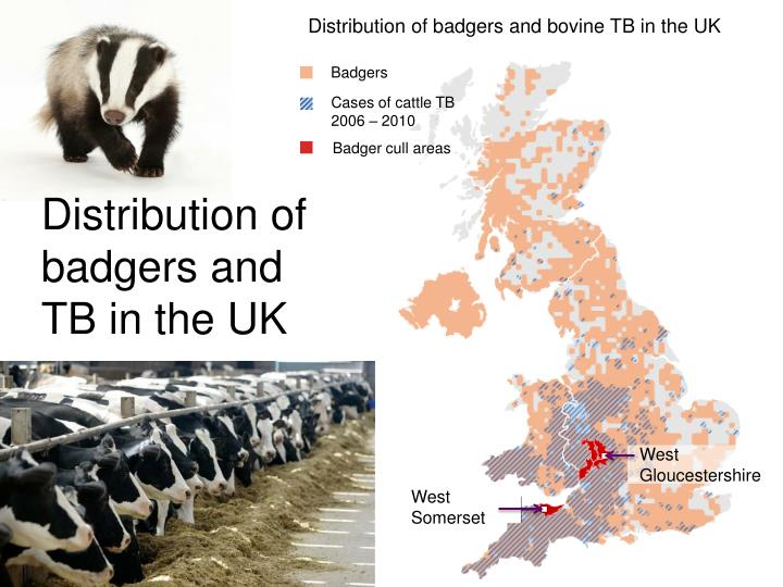 Distribution of badgers and bovine TB in the UK