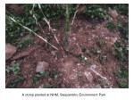 a clump planted at nhm swayambhu environment park