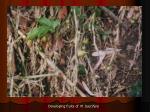 developing fruits of m baccifera
