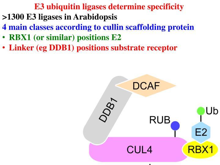E3 ubiquitin ligases determine specificity