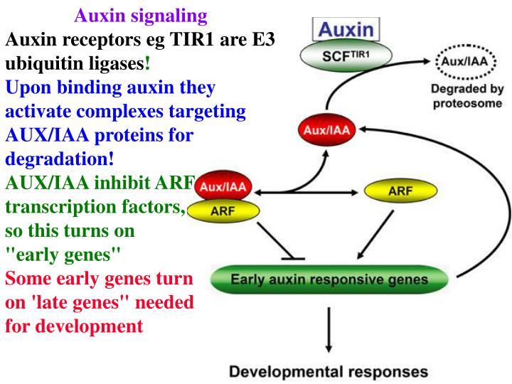 Auxin signaling