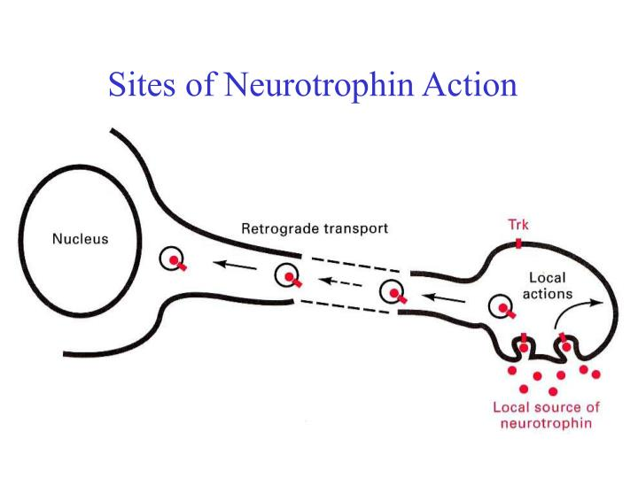 Sites of Neurotrophin Action