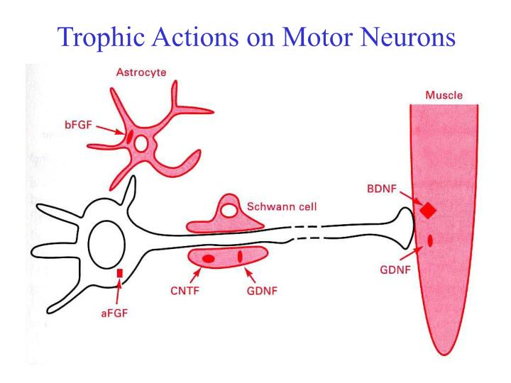 Trophic Actions on Motor Neurons