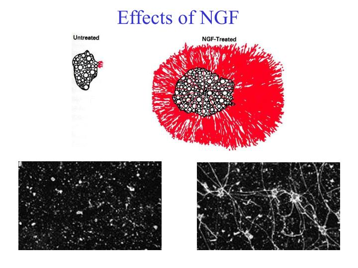 Effects of NGF