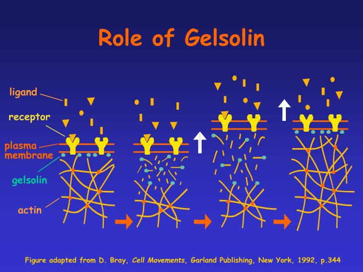 Role of Gelsolin