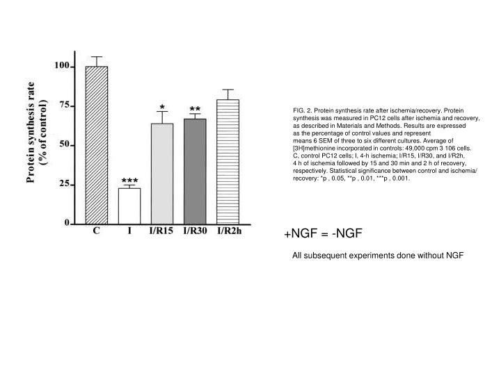 FIG. 2. Protein synthesis rate after ischemia/recovery. Protein