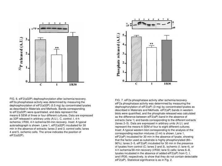 FIG. 6. eIF2(a32P) dephosphorylation after ischemia/recovery.