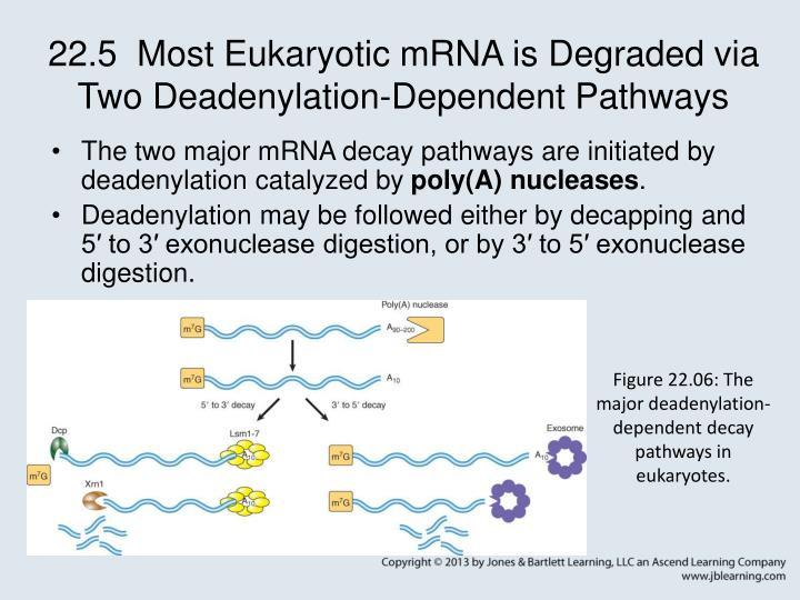 22.5  Most Eukaryotic mRNA is Degraded via Two Deadenylation-Dependent Pathways