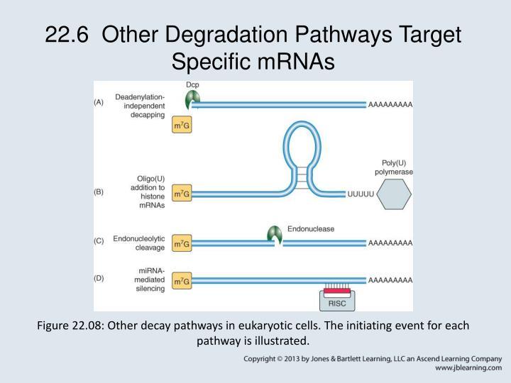 22.6  Other Degradation Pathways Target Specific mRNAs