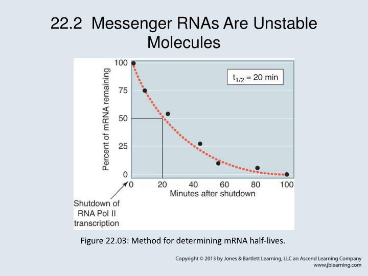 22.2  Messenger RNAs Are Unstable Molecules