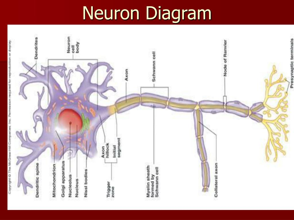 Ppt - The Nervous System  Neural Tissue Powerpoint Presentation  Free Download
