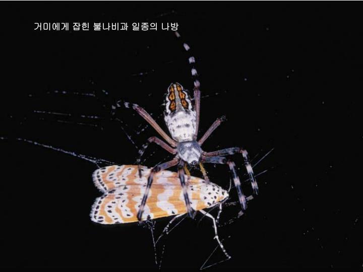 거미에게 잡힌 불나비과 일종의 나방
