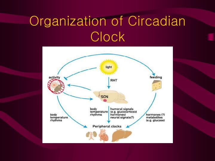Organization of Circadian Clock