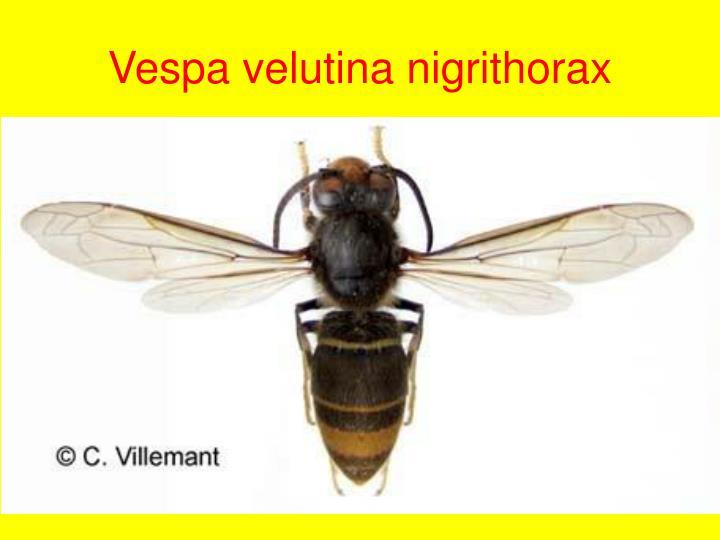 Vespa velutina nigrithorax
