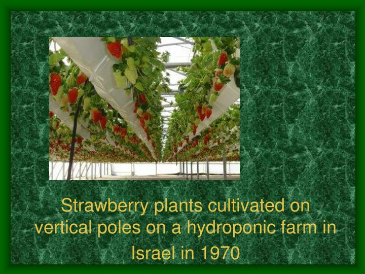 Strawberry plants cultivated on vertical poles on a hydroponic farm in Israel in 1970