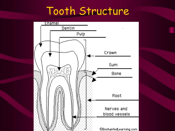 tooth structure n.