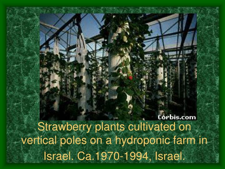 Strawberry plants cultivated on vertical poles on a hydroponic farm in Israel. Ca.1970-1994, Israel.