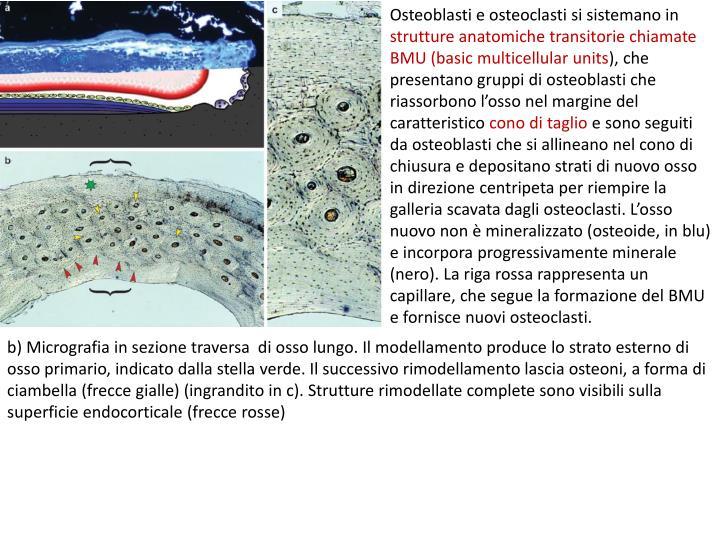 Osteoblasti e osteoclasti si sistemano in