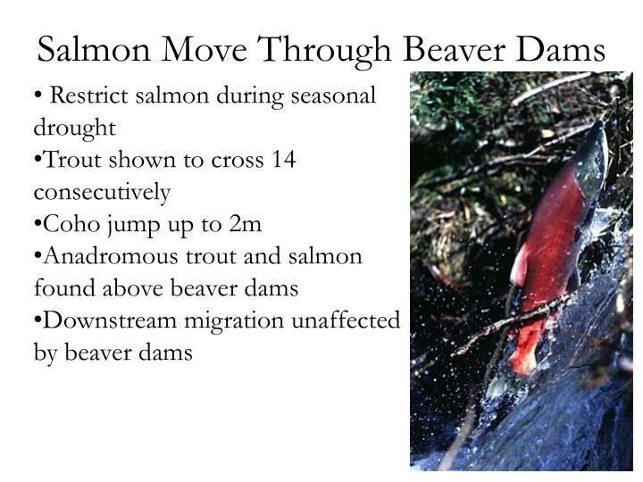 Salmon Move Through Beaver Dams
